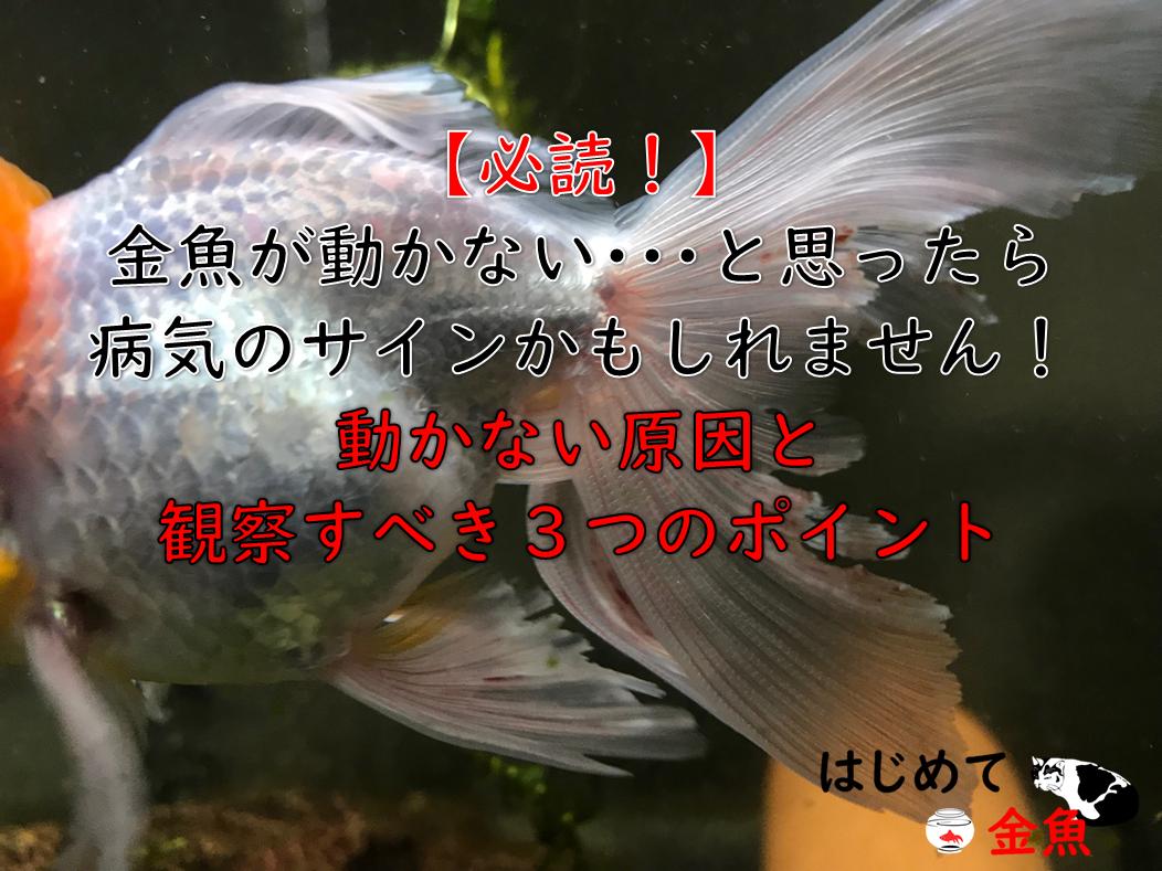 沈む 金魚 底 に
