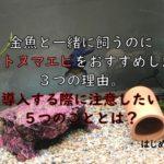 金魚と一緒に飼うのにヤマトヌマエビをおすすめしたい3つの理由。導入する際に注意したい5つのこととは?