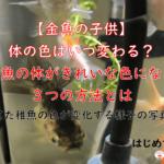 【金魚の子供】色はいつ変わる?どうやったらきれいな色になる?育てた稚魚の色が変化する様子の写真つき!